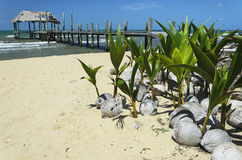 Coconut seedlings on a beach Royalty Free Stock Photography