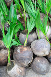 Coconut seedlings ready for planting Royalty Free Stock Photo