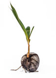 Coconut seedlings Stock Images