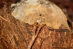Coconut without shell. Spoiled coconut without shell, soft focus royalty free stock photos