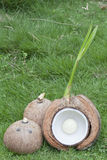 Coconut shell with young leaf Royalty Free Stock Photos