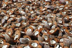 Coconut Shells. What a waste? The natives on the Isle of pine in the South Pacific, only want the milk, to sell to the tourists Royalty Free Stock Image