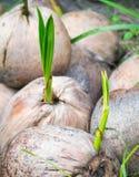 Coconut shoots Royalty Free Stock Photo