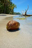 Coconut on the shore of a tropical beach Stock Photography