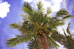 Coconut sky. Coconut tree on a bright sunny day in Guam Royalty Free Stock Images