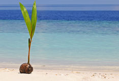 Coconut sprout Royalty Free Stock Images