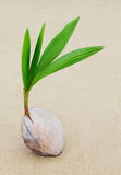 Coconut sprout. On the beach Stock Photography