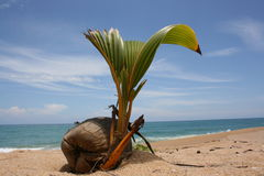 Coconut sprout. The plant is sprouting up at the uninhabited island royalty free stock photos