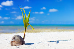 Coconut sprout. Growing on a tropical beach Royalty Free Stock Photos