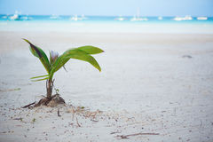 Coconut sprout. Growing on a white sand tropical beach Royalty Free Stock Photo