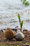 Coconut sprout on the beach Royalty Free Stock Images