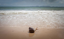 Coconut with sprout on the beach in Thailand Royalty Free Stock Images
