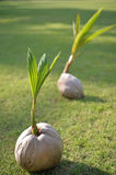 Coconut sprout Royalty Free Stock Photo