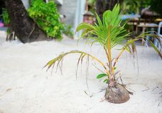 Coconut sprout growing on a tropical beach. Coconut sprout growing on a white sand tropical beach Stock Photography