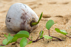 Coconut sprout. Lies on the golden sand near the sea Royalty Free Stock Images