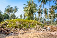 Coconut Sprout Ready To Germinate. On a farms Royalty Free Stock Image