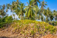 Coconut Sprout Ready To Germinate. On a farms Stock Images
