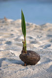 Coconut with sprout on the sand Royalty Free Stock Images