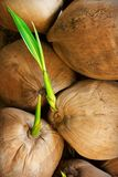 Coconut sprout Stock Photography