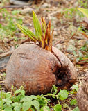Coconut sprouting. A new palm growing from a coconut left lying on the ground Royalty Free Stock Photos