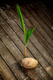 Coconut  Sprouting Royalty Free Stock Photography
