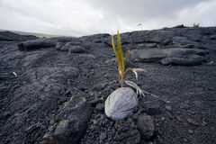 Coconut Sprouting in Lava Landscape Royalty Free Stock Image