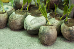 Coconut Sprouts Royalty Free Stock Images