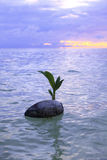 Coconut at sunrise in the ocean Royalty Free Stock Photography