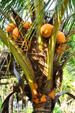 Coconut. Sweet Coconut tree Royalty Free Stock Images