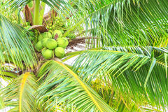 The coconut. Stock Photography