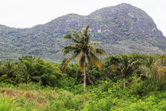 Coconut. Tall coconut trees in the forest Royalty Free Stock Photography