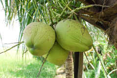 Coconut. Three coconut at the tree Stock Photography