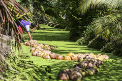 Coconut transpotion in canal. Coconut transportation for raw material in canal at Samutsakorn Province, Thailand Royalty Free Stock Images