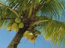 Coconut tree - 1. A coconut tree loaded with bunches of coconut fruits against a bright sunny sky. The water inside young coconuts is a naturally fat-free stock images