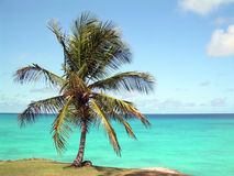 Coconut tree. On a cliff Stock Photos