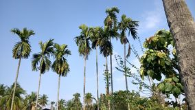 Natural Beauty Tree. This is the coconut tree photo capture by Vansh Jacker Stock Photo