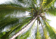 Free Coconut Tree Stock Image - 10833551