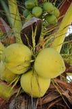 Coconut in the tree stock photos