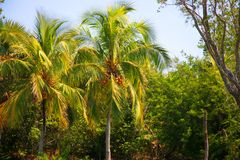 Coconut tree. The harvest of coconuts growing on the palm Stock Image
