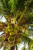 Coconut Tree Royalty Free Stock Photography