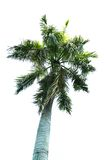 A coconut tree. In white background Stock Photography