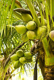 Coconut tree. The Coconut tree in bangkok thailand stock images