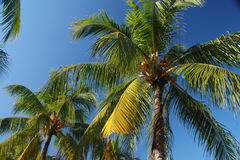 Coconut tree. A nice view of coconut trees in a tropical beach Stock Photo