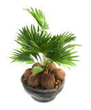Coconut tree. Baby coconut tree in a pot isolated on white Stock Photos
