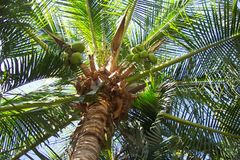 Coconut Tree. Photo of tropical palm tree with coconuts.  Photo taken in Huatulco Mexico Stock Image