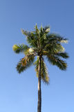 Coconut Tree. Against blue sky royalty free stock photos