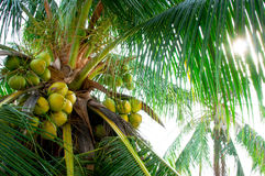 Coconut Tree. With sun shine through the leaves Stock Image