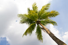 Coconut tree Stock Images
