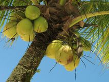 Coconut tree - 2. Close view of a coconut tree loaded with bunches of coconut fruits against a bright sunny sky. The water inside young coconuts is a naturally stock photo