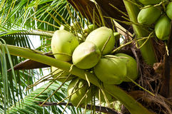 Coconut on tree Stock Photography